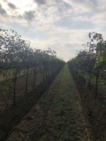 Corvezzo_Winery_filari (21)