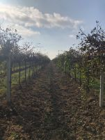 Corvezzo_Winery_filari (7)