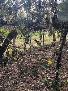 Corvezzo_Winery_vigne (13)